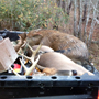 Deer and pig shot by one of our customers with his Blaser R8 308 and Swarovski Z3 purchased in the store.